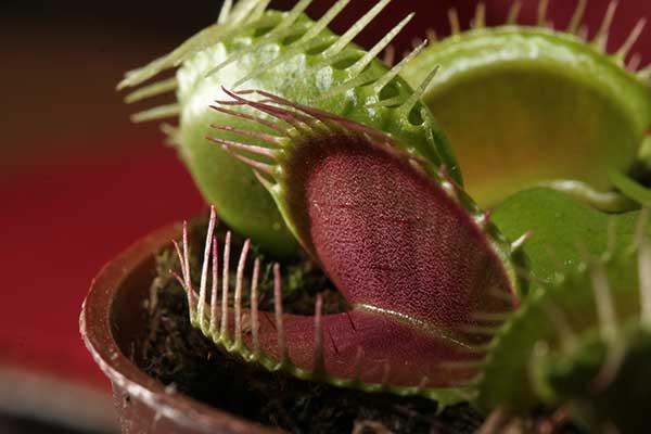 Dionaea muscipula 3