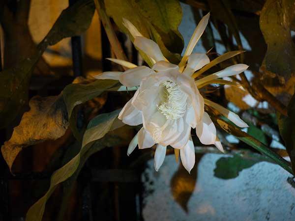 Epiphyllum Oxypetalum 1