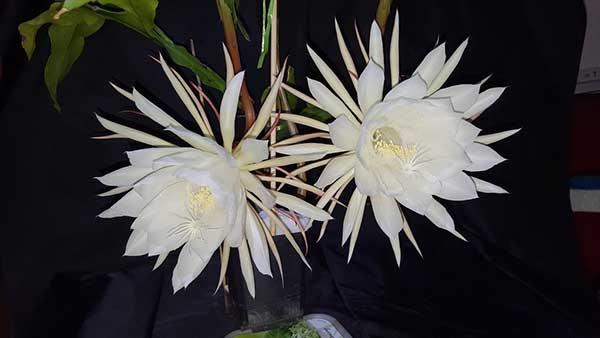 Epiphyllum Oxypetalum 2