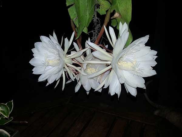 Epiphyllum Oxypetalum 3