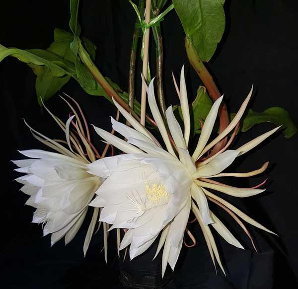Epiphyllum Oxypetalum 4