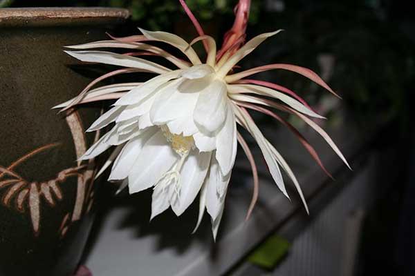 Epiphyllum Oxypetalum 5