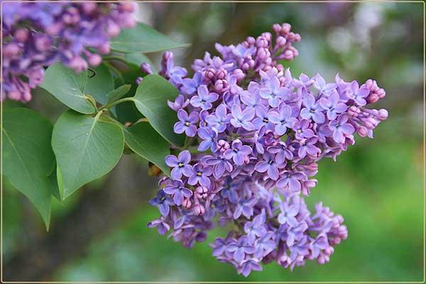 Flor de Lilas 2