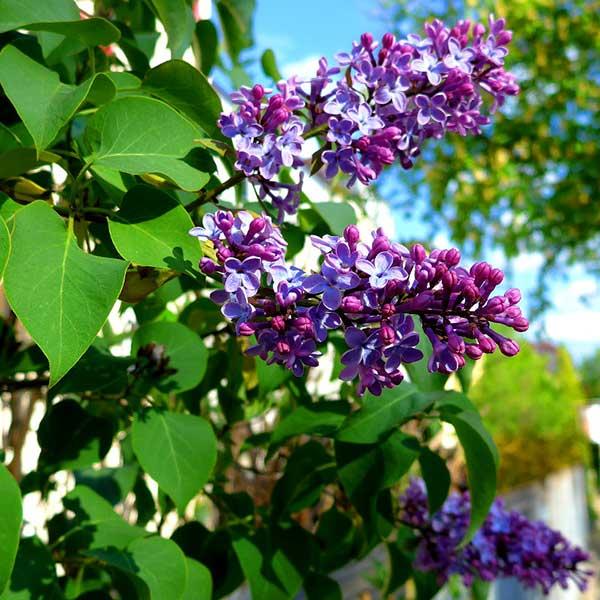 Flor de Lilas 4