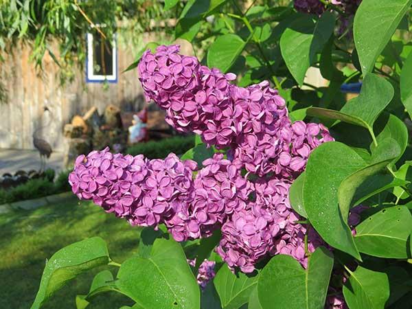Flor de Lilas 5