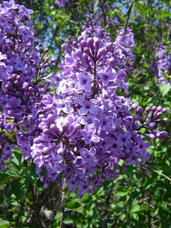 Flor de Lilas 6