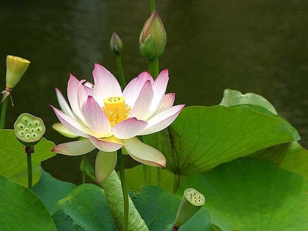 Flor de Lotus 2