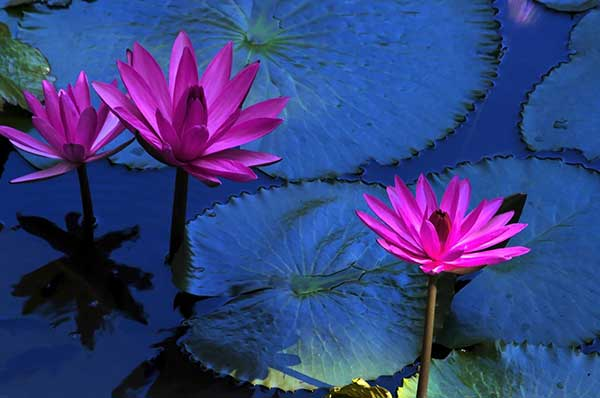 Flor de Lotus 4