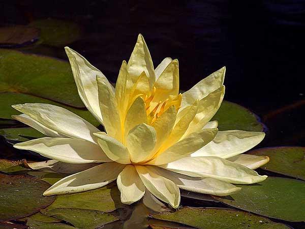 Flor de Lotus 45