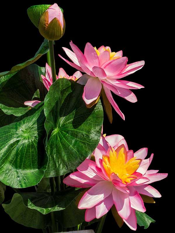 Flor de Lotus 6