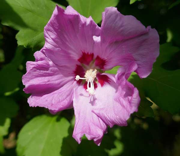 Hibiscus syriacus 7