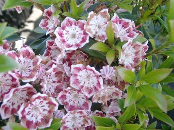 Kalmia latifolia 1