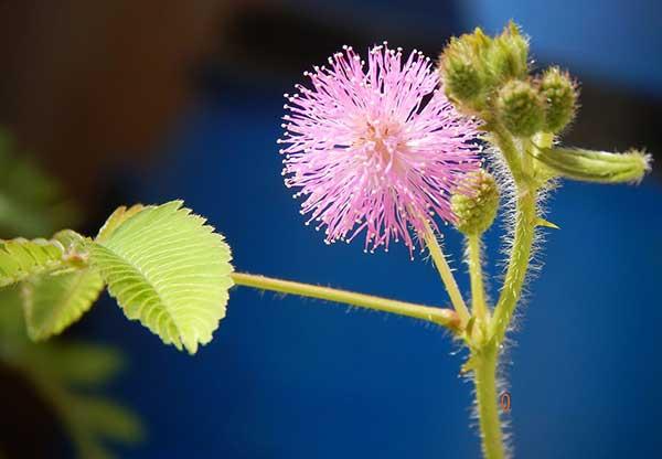 Mimosa pudica 1