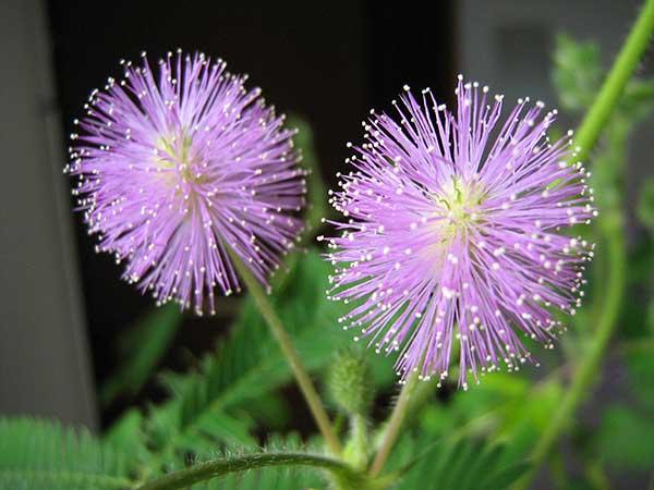 Mimosa pudica 2