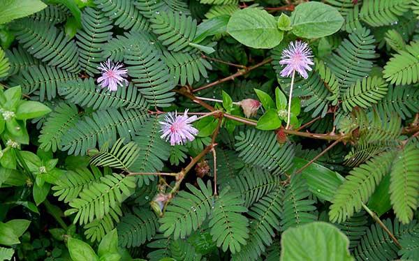Mimosa pudica 3