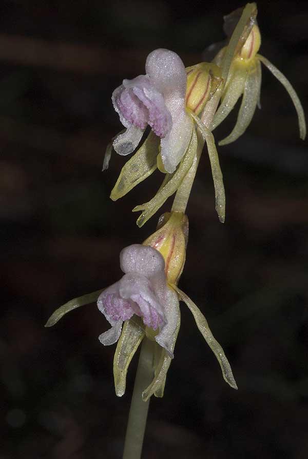 Orquidea Fantasma 1