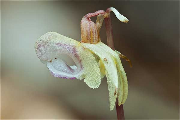 Orquidea Fantasma 4