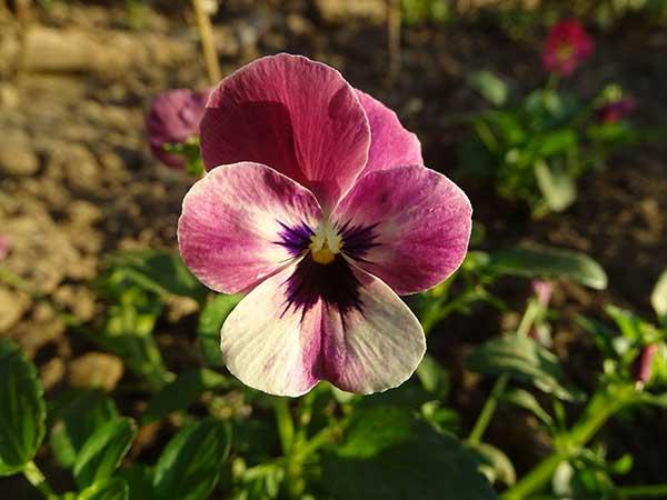 Viola tricolor 3