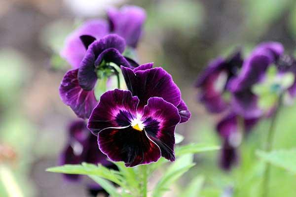 Viola tricolor 6