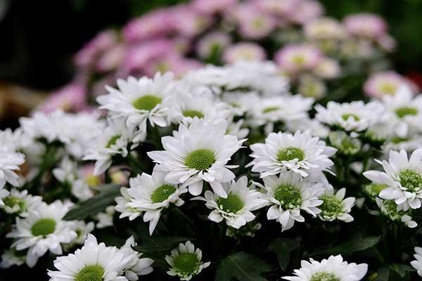 Crisantemo morifolium 2