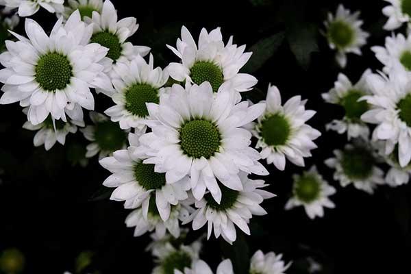 Crisantemo morifolium 3