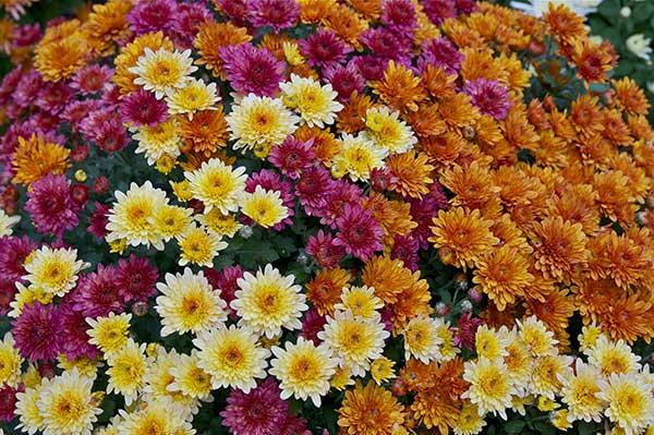 Crisantemo morifolium 4