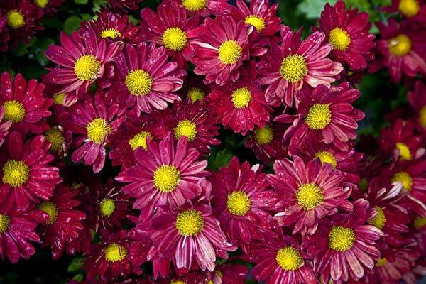Crisantemo morifolium 5