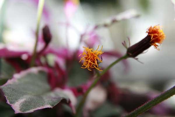 Fotos de Planta veludo