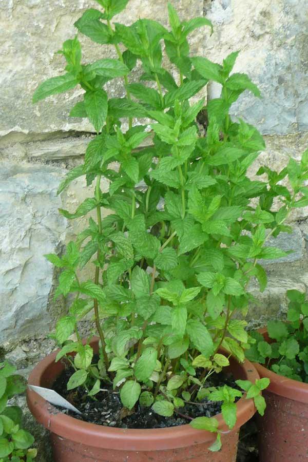 Hortela Pimenta 5