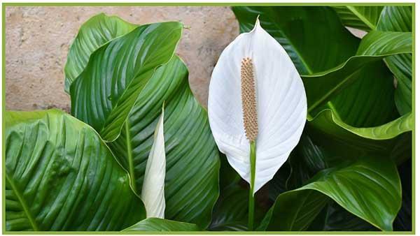 Mais plantas que filtram ar