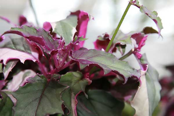 Planta veludo