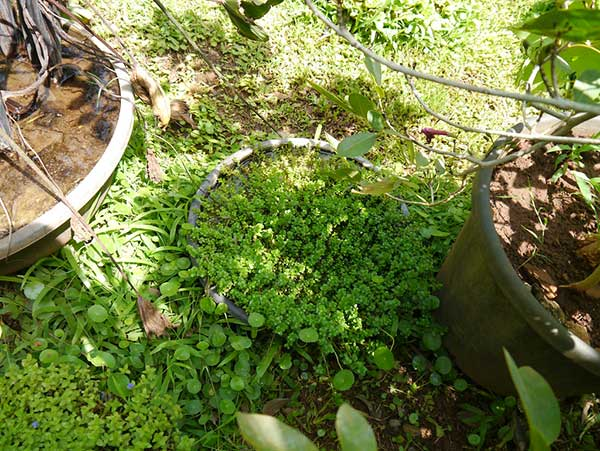 Rotala rotundifolia 1