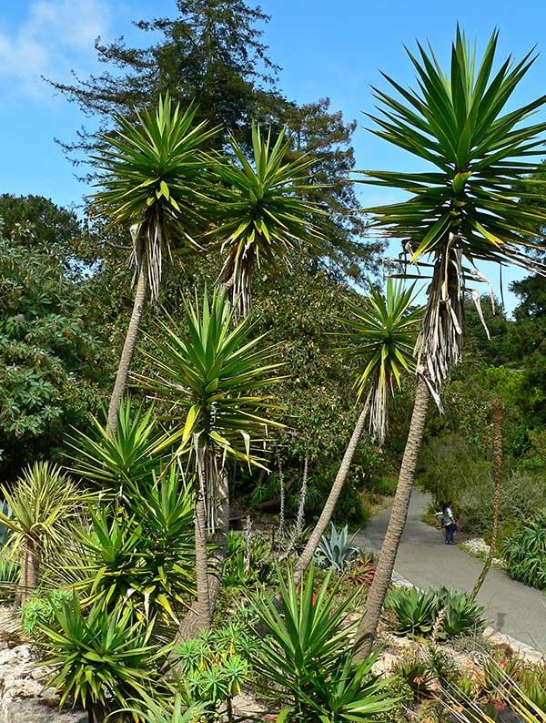 Yucca aloifolia 2