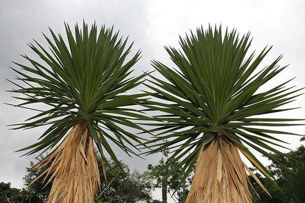Yucca aloifolia 5 1