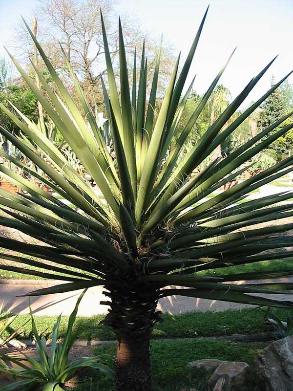 Yucca baccata 1