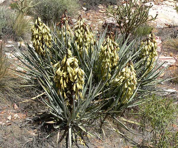 Yucca baccata 4