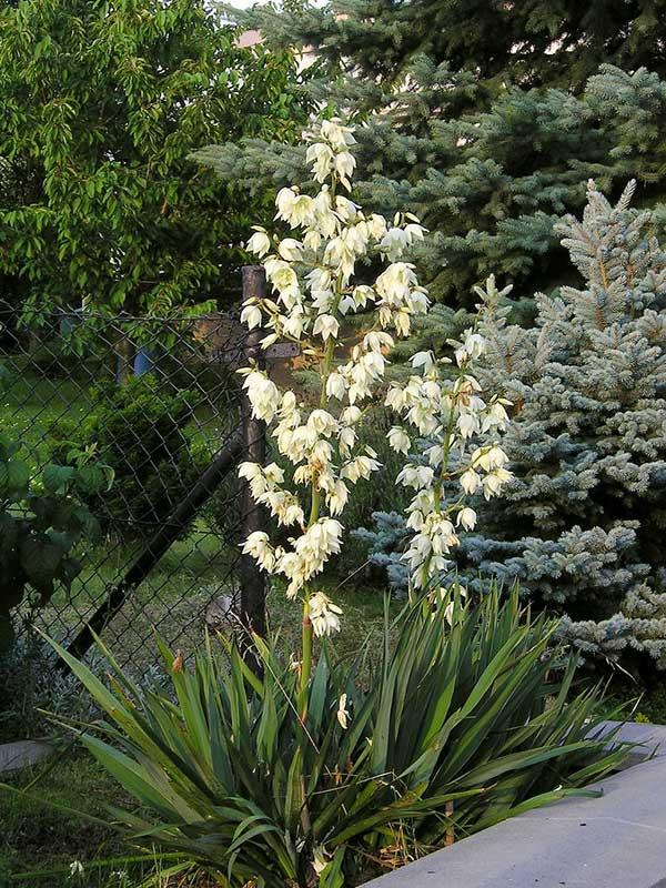 Yucca filamentosa 1