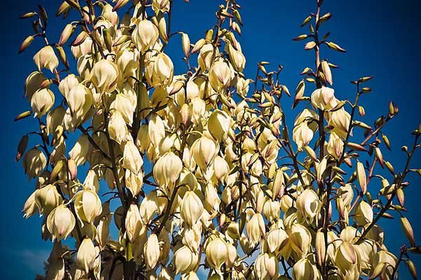 Yucca filamentosa 5 1