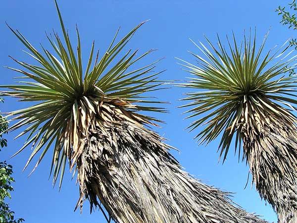 Yucca thompsoniana 2
