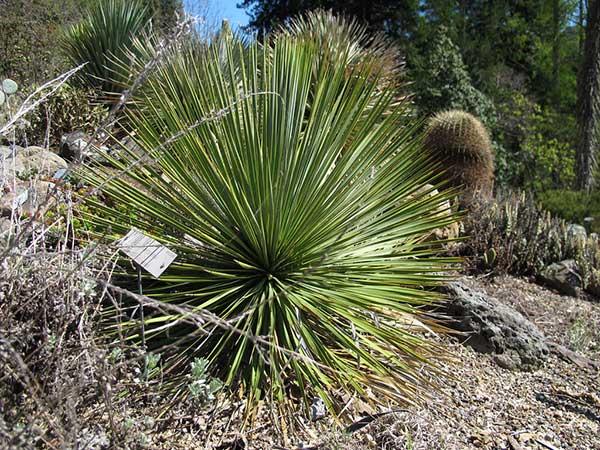 Yucca thompsoniana 3