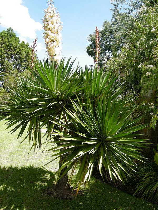 como plantar yucca