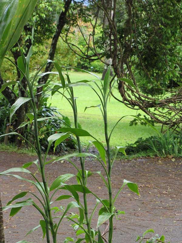 Bambu da sorte 4