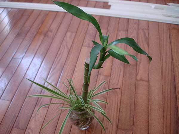 Bambu da sorte em vaso