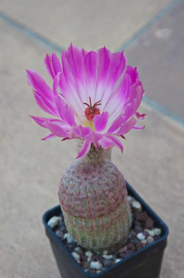 Cacto Arco Iris 2