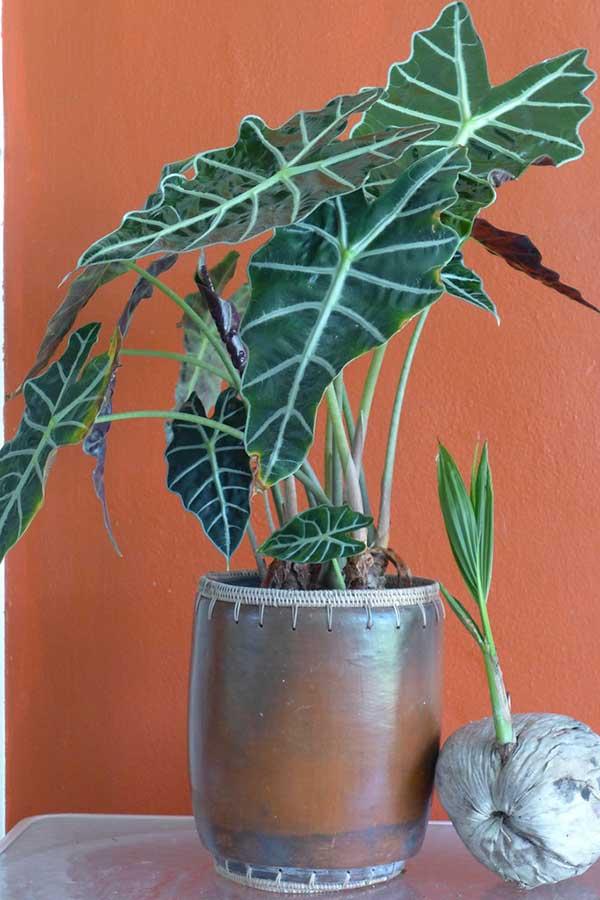 Como plantar Alocasia amazonica