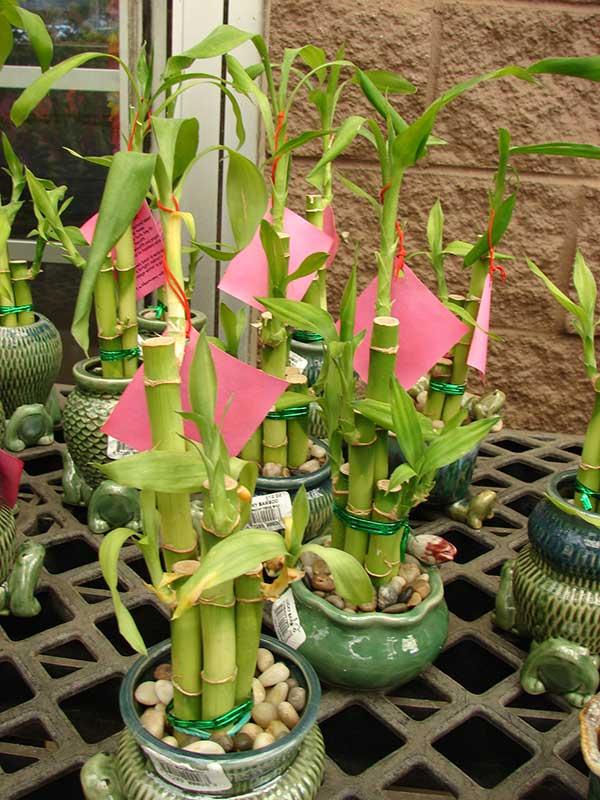 Como plantar Bambu da sorte