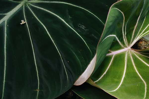 Como plantar Filodendro Glorioso