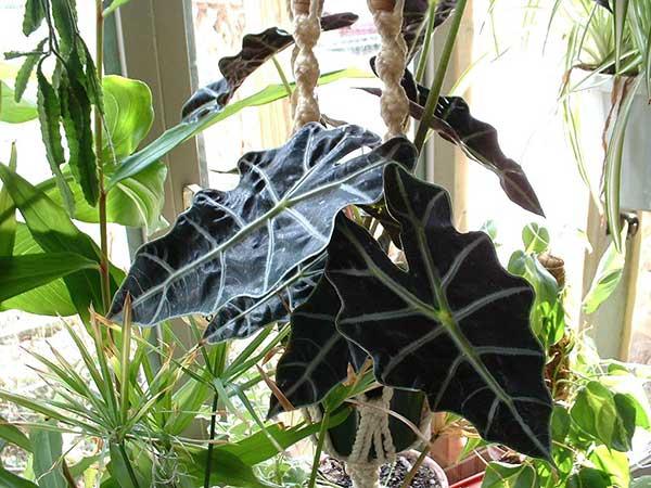 Como plantar Punhal de Malaio