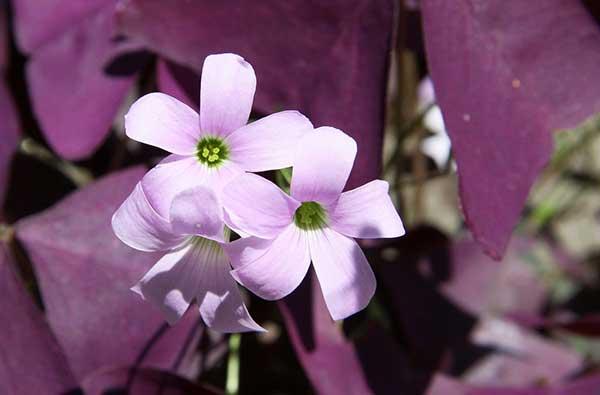 Flor do Trevo Roxo