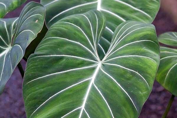 Fotos de Philodendron Gloriosum